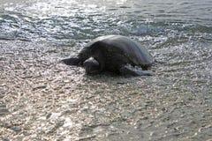 靠岸的乌龟 免版税库存照片