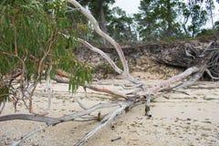 靠岸的产树胶之树 免版税库存照片