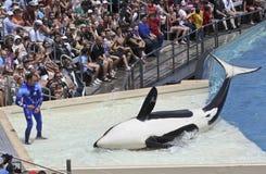 靠岸的凶手执行培训人鲸鱼 免版税库存图片