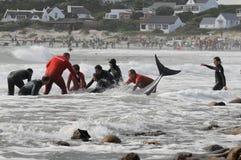 靠岸的开普敦鲸鱼 图库摄影