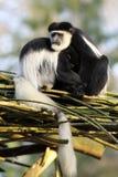 靠近坐二只疣猴的猴子 免版税库存图片