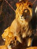 靠近狮子的家庭 免版税图库摄影