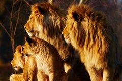 靠近狮子的家庭 库存照片