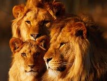 靠近狮子的家庭 图库摄影