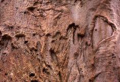猴面包树与心脏形状的树皮 免版税库存图片