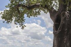 猴面包树凹陷 免版税库存图片