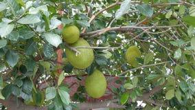 面包树果的巨大的果子增长不错在泰国的街道上 在树的异乎寻常的果子 股票录像