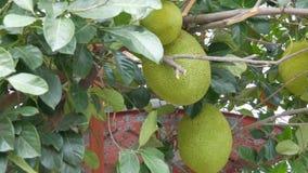 面包树果的巨大的果子增长不错在泰国的街道上 在树的异乎寻常的果子 股票视频