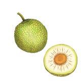 面包树果的被隔绝的植物的例证 皇族释放例证