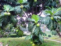 面包树果风险hdr长期被处理的射击结构树 免版税库存图片
