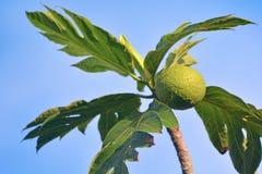 面包树果f开花的树在拉罗通加库克群岛 免版税图库摄影