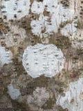 面包树树的吠声 免版税库存图片