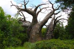 猴面包树树 库存图片