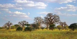 猴面包树树 免版税库存照片