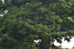 猴面包树树 免版税库存图片