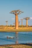 猴面包树的大道,马达加斯加 免版税库存照片