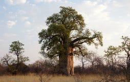 猴面包树,纳米比亚,非洲 免版税库存照片