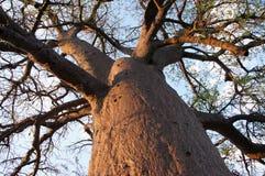 猴面包树,纳米比亚,非洲 库存照片