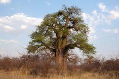 猴面包树,纳米比亚,非洲 图库摄影