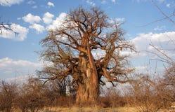 猴面包树,纳米比亚,非洲 免版税库存图片