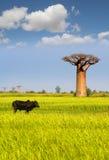 猴面包树 免版税库存照片