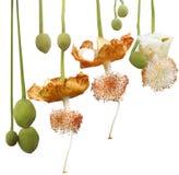 猴面包树Digitata花 库存图片