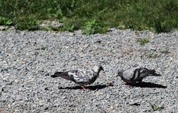 面包的争斗,鸠对鸽子 库存照片
