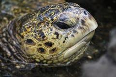 面孔一会儿游泳的海龟关闭 图库摄影