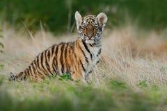 面孔固定的老虎神色 在草的幼小tiberian老虎 跑在草甸的阿穆尔河老虎 行动野生生物与危险a的冬天场面 图库摄影