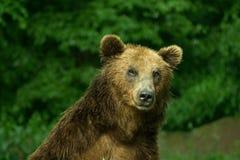 面孔棕色北美灰熊特写镜头 库存照片