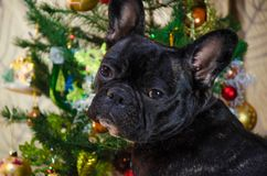 面孔狗画象新年假日 宠物是黑,幼小法国牛头犬 室在圣诞树附近的狗位置 免版税库存照片