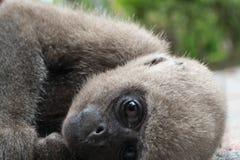 面孔猴子 库存图片