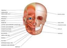 面孔的肌肉和骨头 向量例证