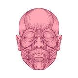 面孔的肌肉,人头解剖学, 免版税库存照片