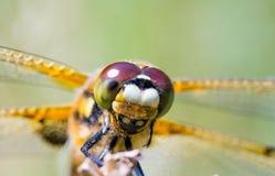 面孔蜻蜓 免版税库存照片