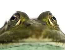 面对一只可食的青蛙的特写镜头, Pelophylax kl。esculentus 图库摄影