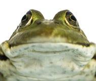 面对一只可食的青蛙的特写镜头, Pelophylax kl。esculentus 库存照片