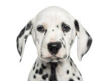 面对一只达尔马希亚的小狗的特写镜头,看照相机 免版税图库摄影