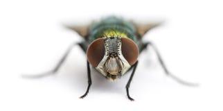 面对一次共同的绿色瓶的飞行的正面图, Phaenicia sericata 库存图片