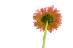 面对在白色背景的桃红色雏菊花 免版税库存照片