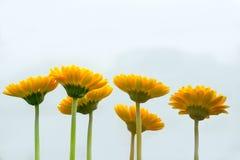 面对在白色背景的黄色雏菊花 免版税库存图片