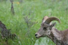 面对大角野绵羊的母羊左 免版税库存图片