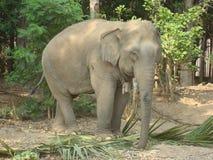 面对大象 库存照片