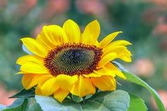 面对太阳的充满活力的晴朗的向日葵在庭院里 免版税库存照片