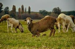 面对对照相机的绵羊 免版税图库摄影