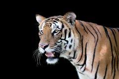 面对庄严白色皇家孟加拉老虎的外形 免版税库存照片