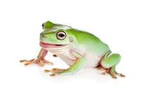面对拉结构树的青蛙 免版税库存图片