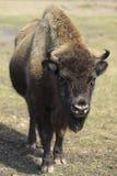 面对欧洲野牛 免版税库存照片