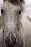 面对灰色马 库存照片