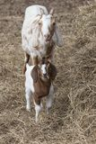 面对照相机的保姆和孩子山羊吃草在干草捆 画象样式 库存图片